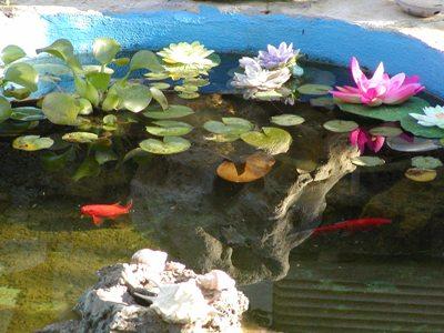 Il pesce rosso for Pesci di stagno